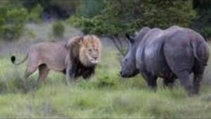 Video: The Best of Rhino Attacks | Rhino Versus Lion, Elephant, Boar, Vehicle